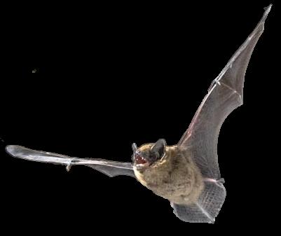 Hibernating Bats in the Winter