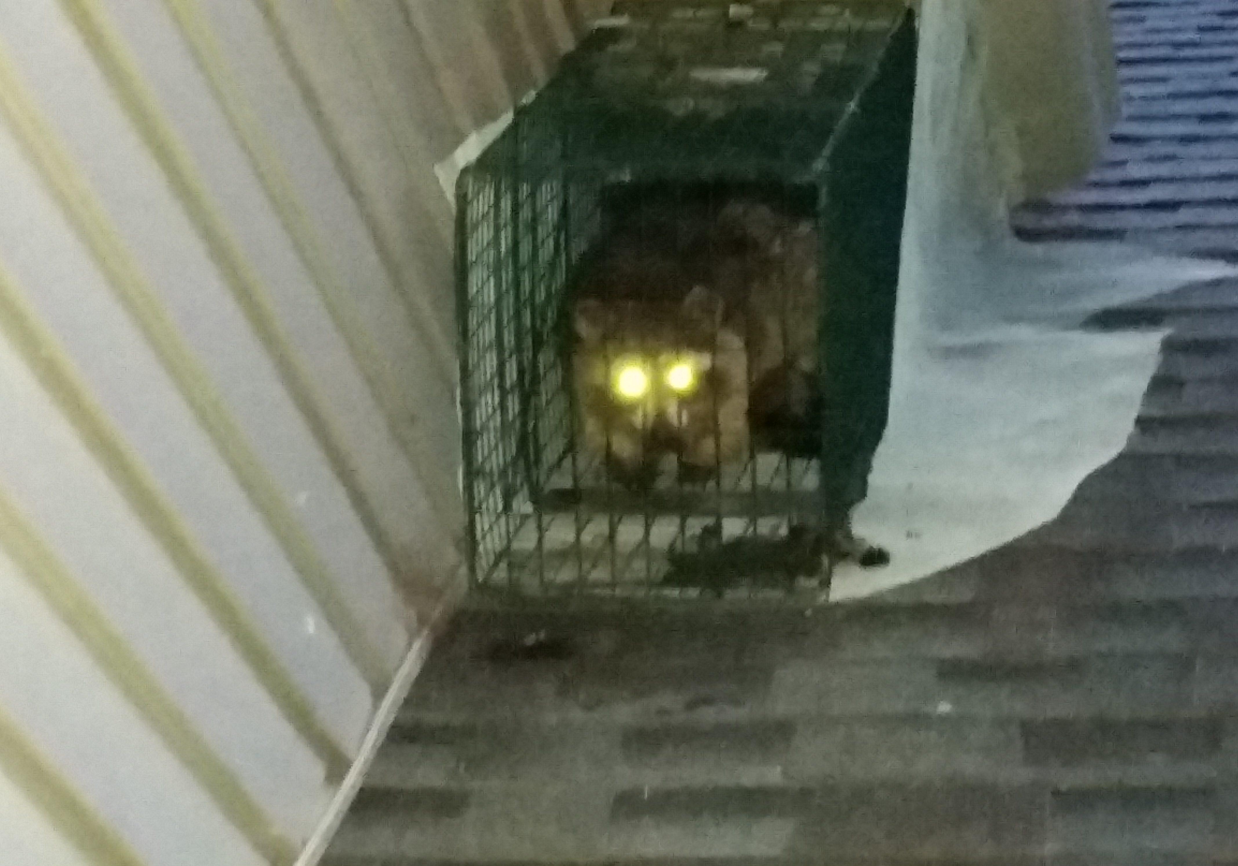 Michigan Raccoon Removal