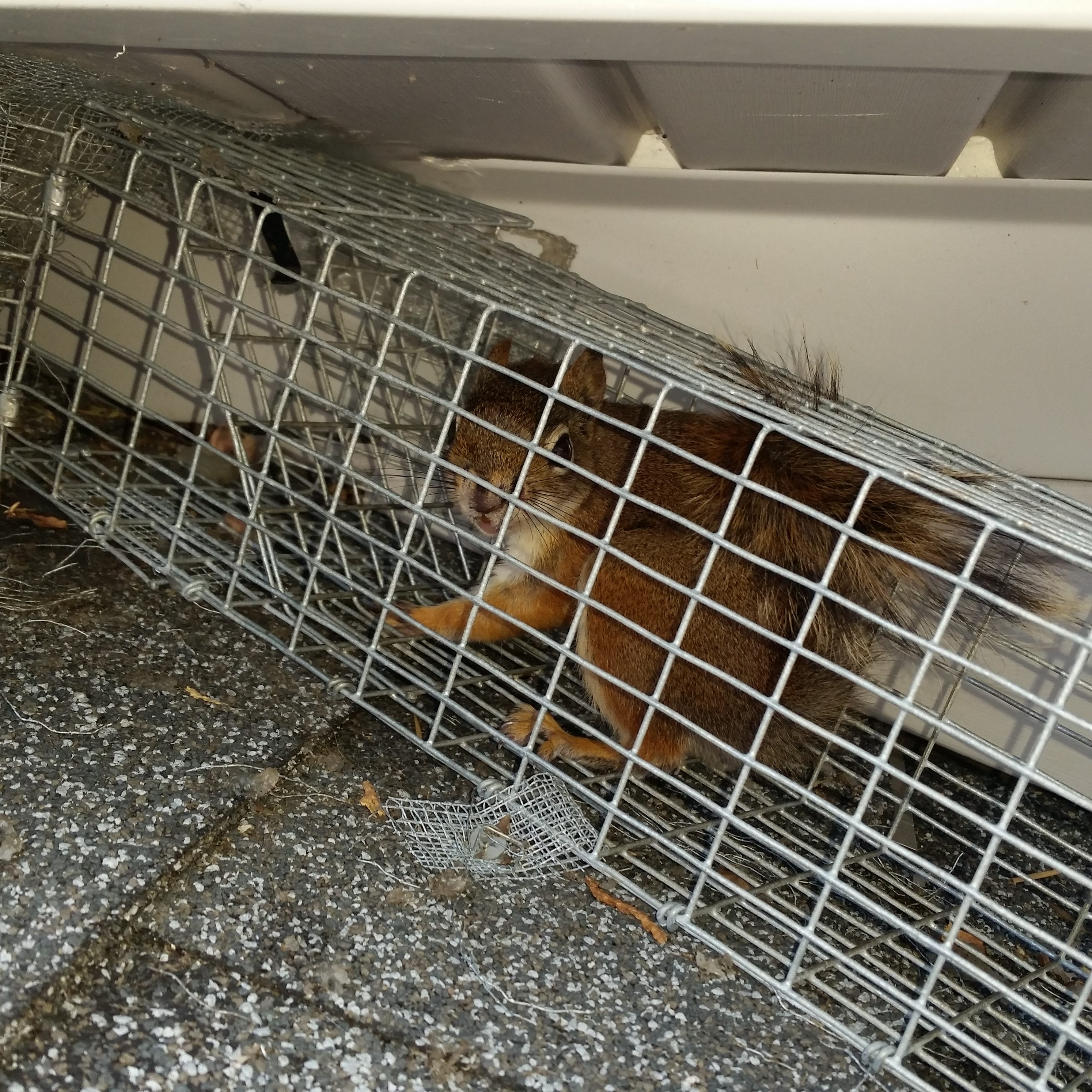 Squirrel Removal Michigan