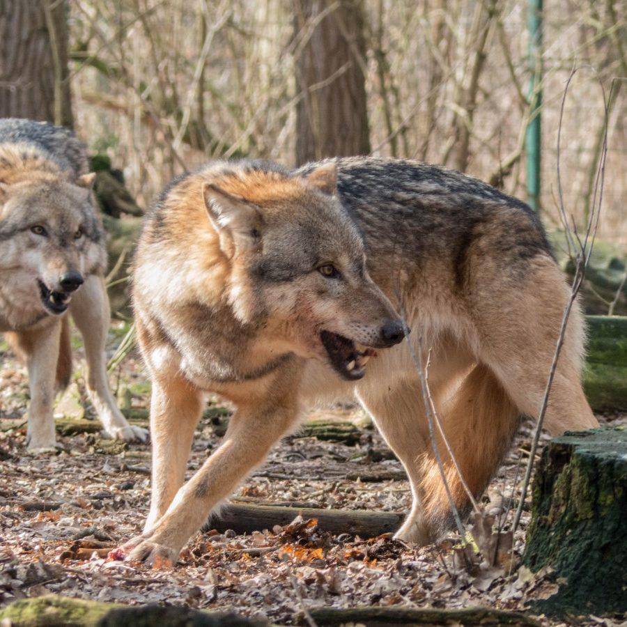 Coyote Trapper in Michigan
