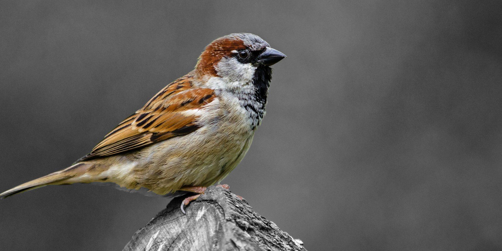 Michigan Sparrow Control