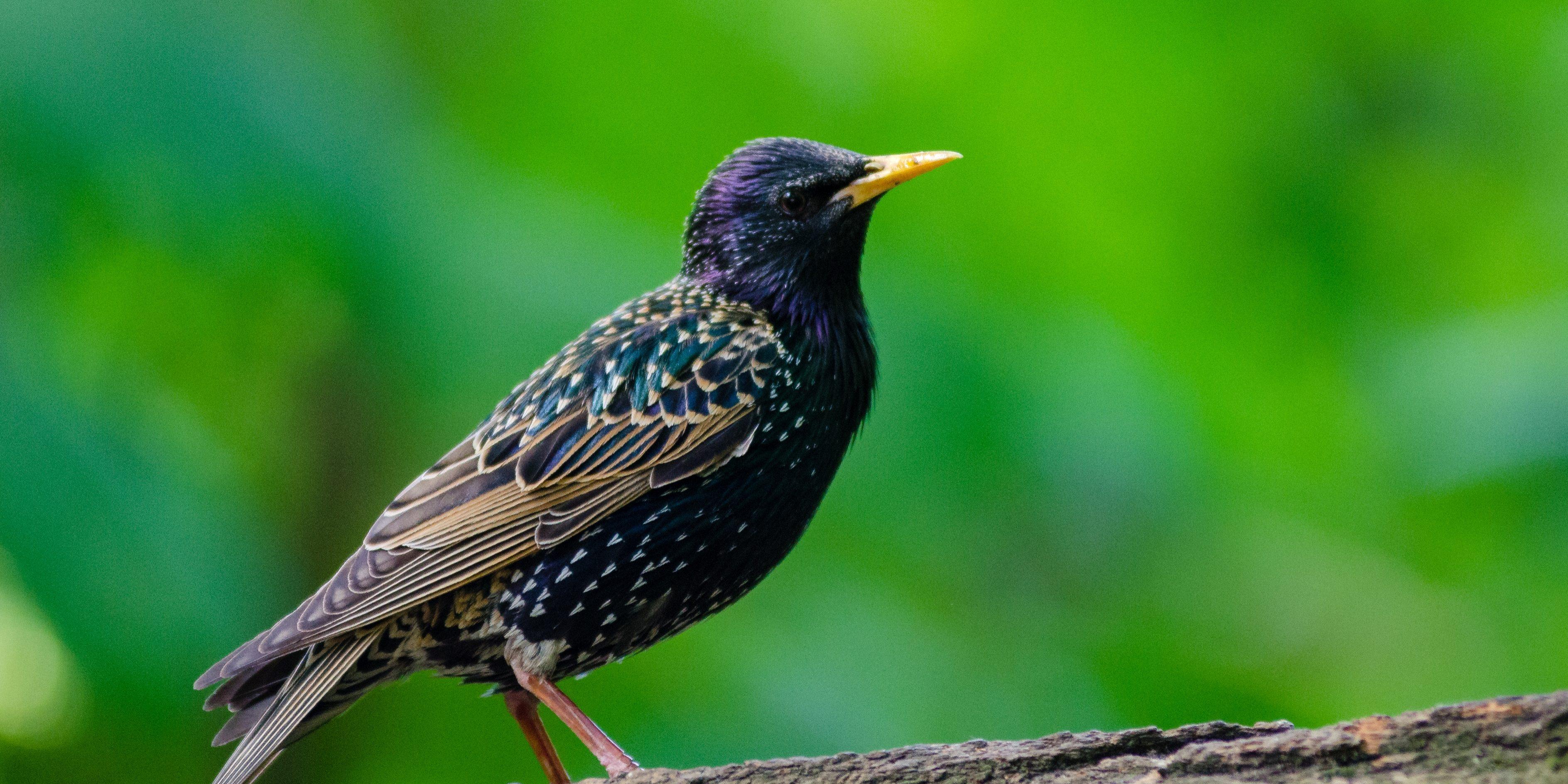 Starling Removal Michigan