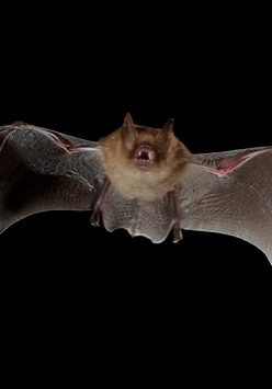 Bats flying around the house at night