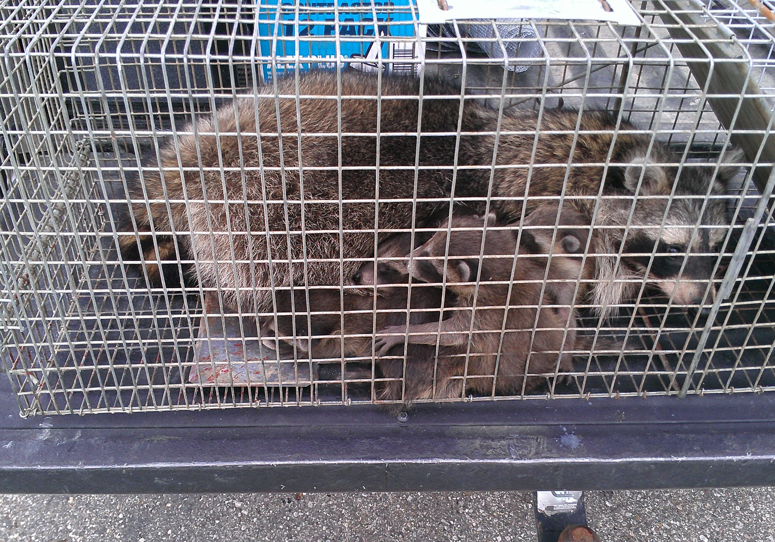 Michigan Raccoon Trapper