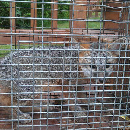 fox removal michigan